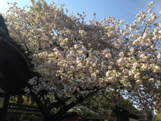 東大桜.jpg