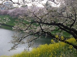 菜と桜Ⅰ.jpg